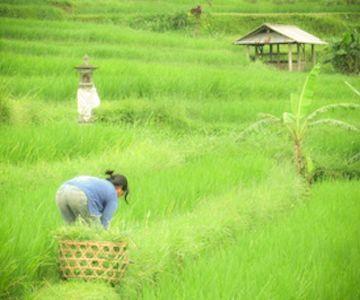 Visit the Jatiluwih-rice terraces